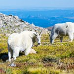 Rocky-Mountain-Sheep-Goats-Meadow